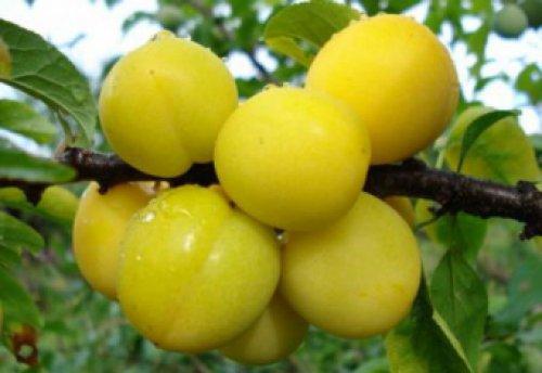 Желтая слива - калорийность